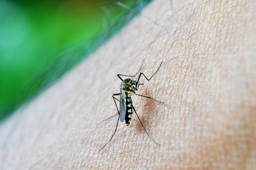 o mosquito trasmissor da dengue é o Aedes aegypti, que se assemelha bastante a um pernilongo
