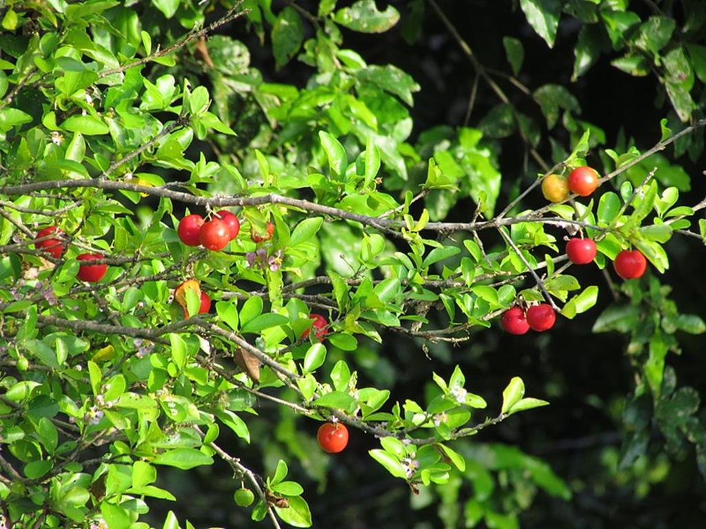 a acerola é uma das frutas mais ricas em vitamina C