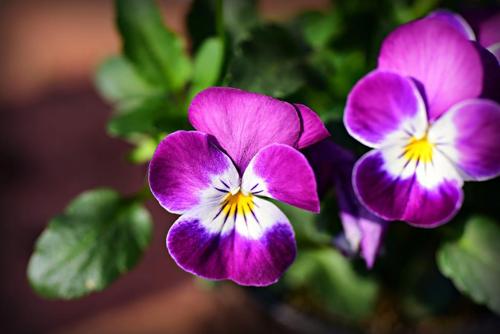 a flor possui propriedades calmantes que ajudam a diminuir a tosse seca