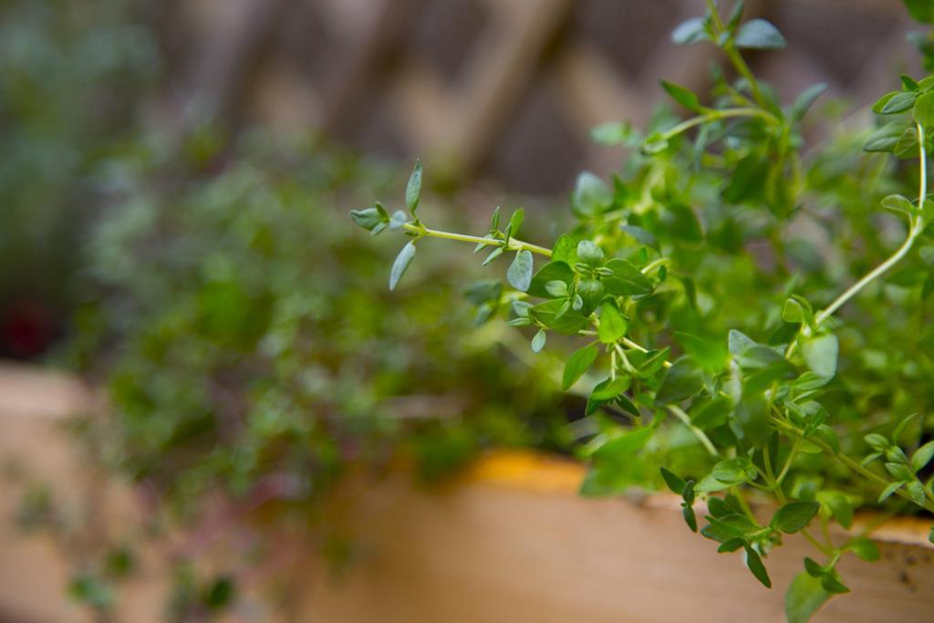 além de ser usado em temperos, o tomilho pode ser consumido em forma de chá para diminuir o incômodo da tosse seca